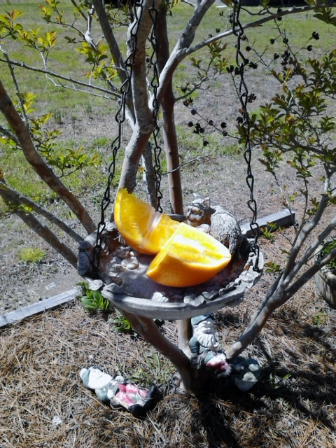 I had a rotting orange in the fridge so I put it out on the bird feeder today.