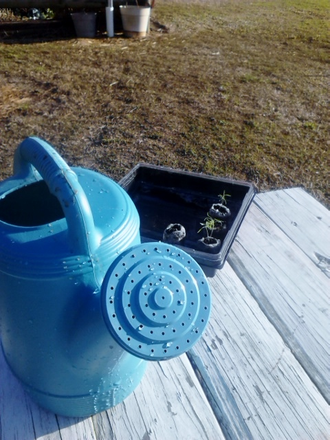 I received this watering can for Easter and have already put it to good use (Stevia and Dill seedlings in the background)