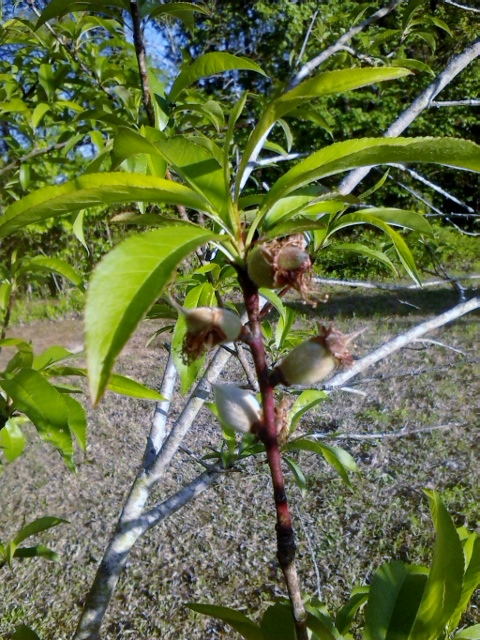 Mom and I noticed peaches popping up on our white peach tree today.