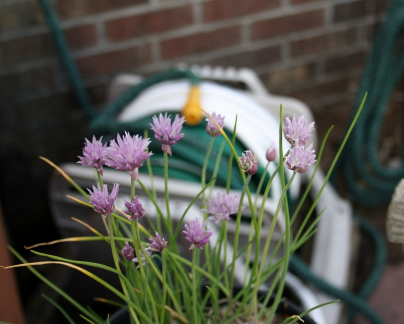 I'm determined to use these chive blossoms this year. Suggestions?