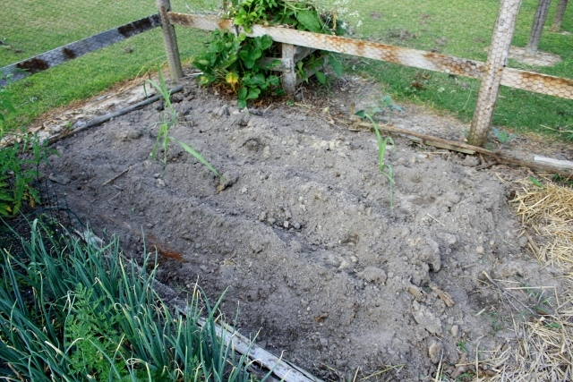 Mom cleared the old strawberry bed today, leaving plenty of room for my sugarcane to grow. We'll be planting some more squash, cucumbers, and zucchini soon.