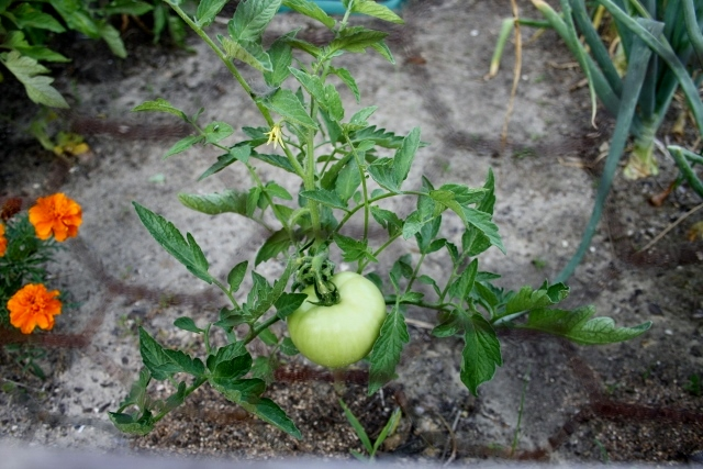 This was supposed to have been a cherry tomato plant, according to its label. Guess not!
