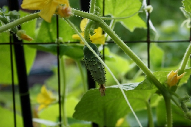 Already our cucumbers are doing better than they did last year.