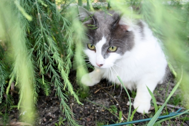 Ziggy is so glad that I have let the asparagus go to fern - it is his little hiding spot!