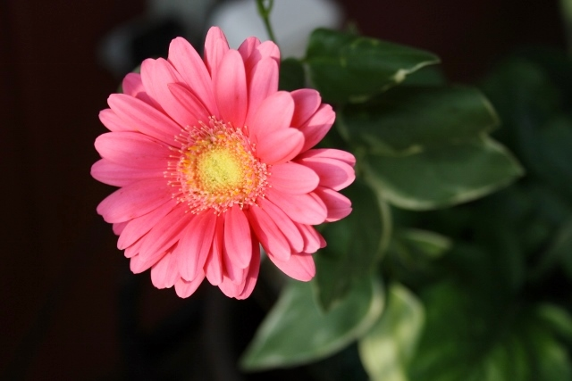 Our yard is full of gorgeous daisies in a whole range of colors, like this pink one.