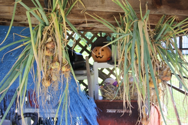 After drying her onions, mom hung most up under the shed (we froze about half).