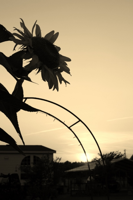 Another artsy photo - this one is of the 6+ feet tall sunflower that is overlooking our tomato patch.