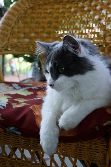 My handsome Ziggy, looking quite regal and cozy.
