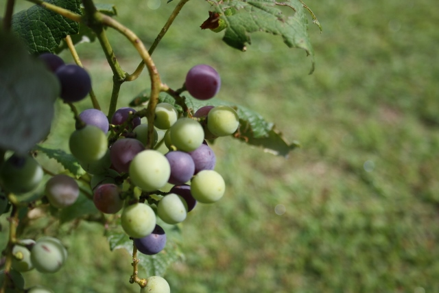 We are starting to see some grapes turning but we still have a ways to go before we can eat them.