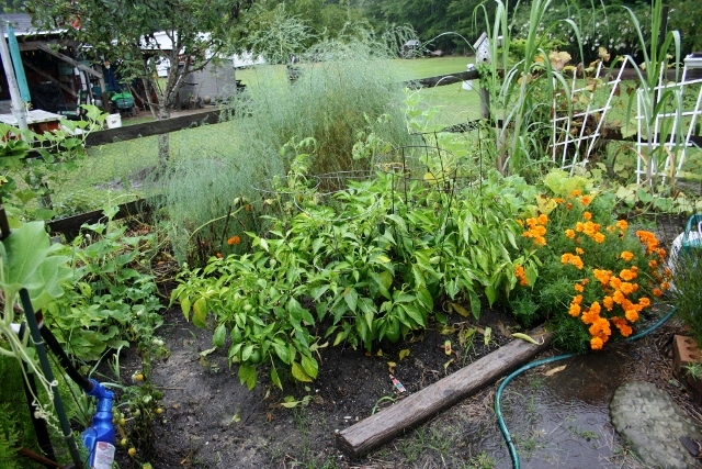 Overview of the garden on a rainy day. You can see the various peppers, my sugar cane, and the asparagus ferns.
