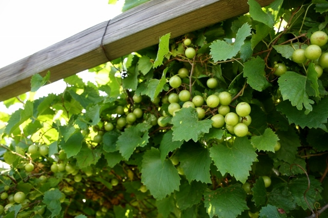 I can't wait until these grapes are ready!