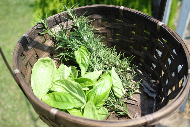 Mom and I picked a bit of basil and some rosemary to try out our herb dryer.