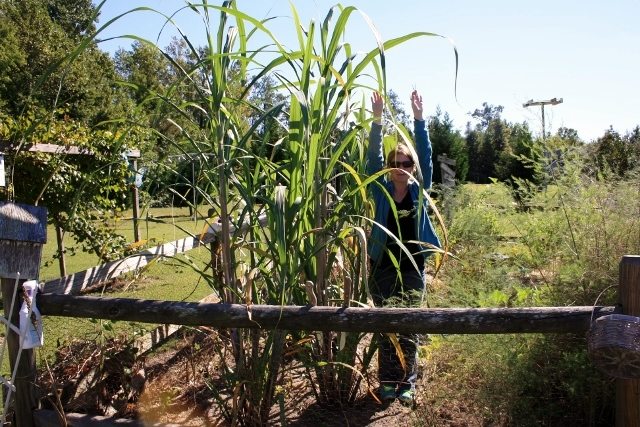 My sugar cane is taller than I am right now. It'll be time to harvest it soon (before the frost comes).