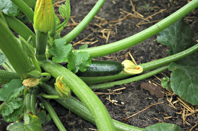 We've harvested two zucchini already from the boyfriend's garden.