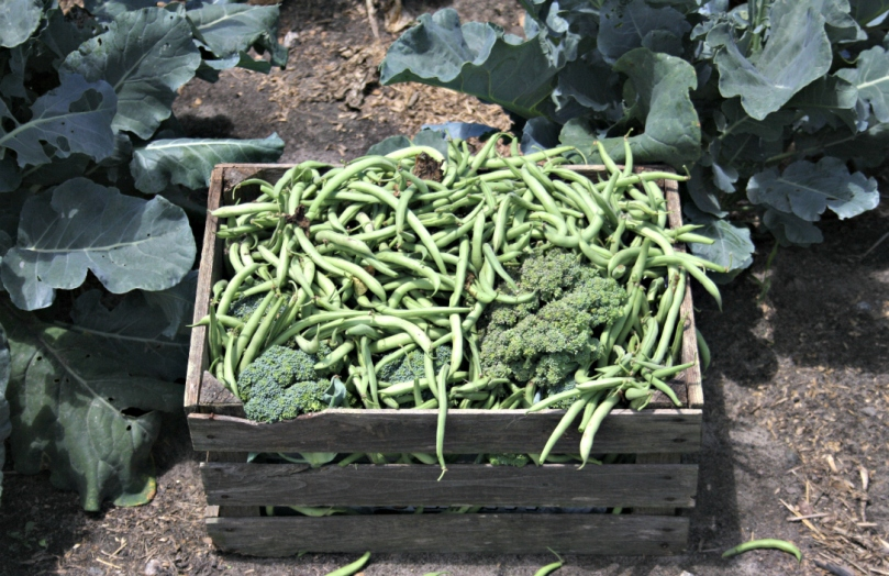 The first round of green beans that we picked this past Saturday - my back was fried!